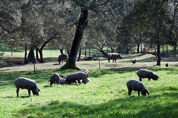 Iberische varkens met vrije uitloop